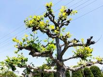 Bonsai för Ã-rvore royaltyfri fotografi