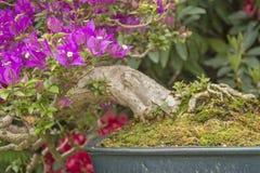 Bonsai för Brigt colourfullbougainvillea royaltyfria foton