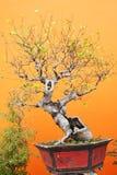 Bonsai in fall Stock Photography