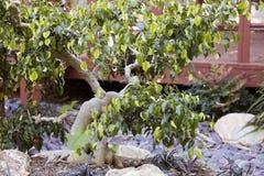 Bonsai-Ficus-Baum im botanischen Garten Stockbild