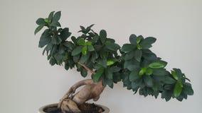 Bonsai-Ficus Benjamina stockfoto