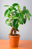 bonsai ficus drzewo Fotografia Stock