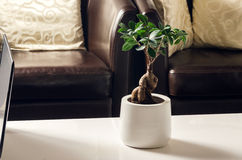Bonsai, Ficus Ginseng in living room Stock Image