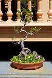 Bonsai Royalty Free Stock Photos