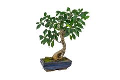 Bonsai, Ficus retusa, In a marble pot, on a white background. Indoor plant stock image
