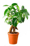Bonsai Ficus Tree Royalty Free Stock Image