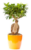 Bonsai ficus tree. From the pot on a white background stock images