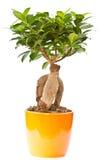 Bonsai ficus tree Stock Images