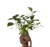 Bonsai Ficus Tree Stock Image