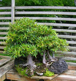 Bonsai ficus tree. In Japanese garden stock photos