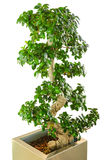 Bonsai ficus tree - old Japanese traditional art Royalty Free Stock Photos