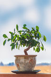 Bonsai Ficus Tree Royalty Free Stock Photo