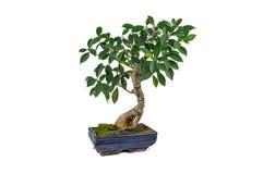 Bonsai, Ficusretusa, in een marmeren pot, op een witte achtergrond Binneninstallatie stock afbeelding