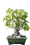 Bonsai of a fig tree in pot Stock Images