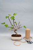 Bonsai fig with an unripe fruit on a gray background. Green bonsai figs on a light gray background with a skein of rope. Royalty Free Stock Images