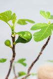 Bonsai fig with an unripe fruit on a gray background. Green bonsai figs on a light gray background with a skein of rope. Stock Photos
