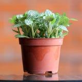 Bonsai (Fittonia Albivenis) Zdjęcia Royalty Free