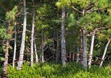 bonsai forest Стоковое Изображение