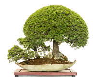 Bonsai forest with chinese elm trees. Bonsai forest with chinese elm (Ulmus parvifolia) trees stock photos
