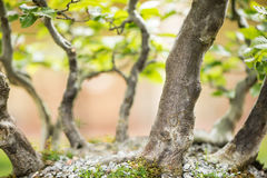 Bonsai forest with common hornbeams Royalty Free Stock Photo
