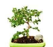 bonsai fukien tea Arkivfoton
