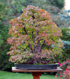 Bonsai in garden stock photography