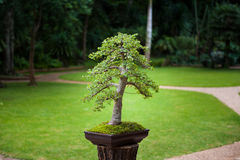 Bonsai. Garden in Royal Agricultural Station Angkhang, Chiangmai, Thailand Stock Photo