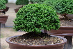 Bonsai in a garden Royalty Free Stock Photos