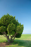 Bonsai giganti Immagine Stock
