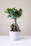 Bonsai ginseng or ficus retusa Stock Photos
