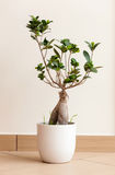Bonsai ginseng or ficus retusa Stock Photography