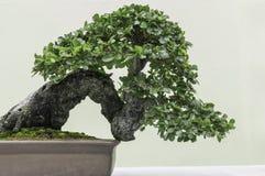 Bonsai glücklici Immagini Stock