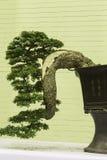 Bonsai glücklici Immagini Stock Libere da Diritti