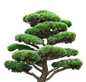 Bonsai green pine isolated on white tree Royalty Free Stock Image