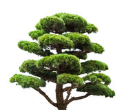 Bonsai green pine tree isolated on white Stock Photos