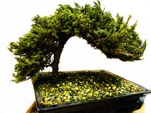 Bonsai green tree Stock Images