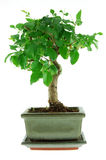 bonsai grey garnek Obrazy Stock