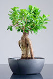 Bonsai in greyish cup Royalty Free Stock Photo