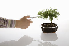 Bonsai grooming royalty free stock images