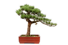 The bonsai of Guest-Greeting Pine on white stock images