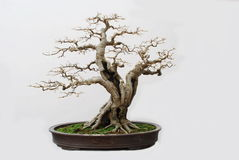 The bonsai of hackberry royalty free stock image