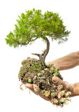 Bonsai in Hand Royalty Free Stock Photos
