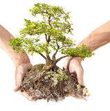 Bonsai in Hand Royalty Free Stock Photo