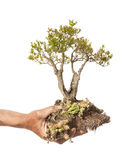 Bonsai in Hand Stock Photography