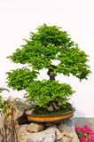 Bonsai in the hangzhou garden Royalty Free Stock Image