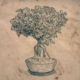Bonsai home plant Royalty Free Stock Image
