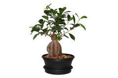 Bonsai. House plants on a white background Royalty Free Stock Photos