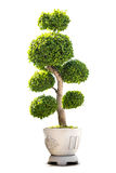 Bonsai houseplant isolated Stock Images
