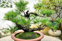Bonsai in Humble Administrator's Garden Stock Images