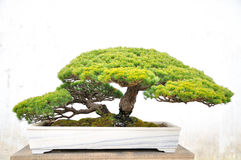 Bonsai in Humble Administrator's Garden Royalty Free Stock Photography